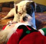 Baxter (formerly known as Buddy), PAWS 2012 Alum, loves Santa.